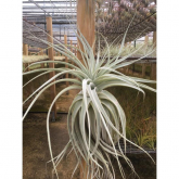 Tillandsia straminea thick leaf