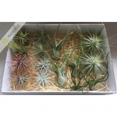 Tillandsia MIX 15