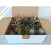 Tillandsia MIX 30