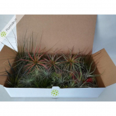 Tillandsia MIX 50