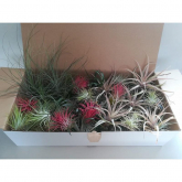 Tillandsia MIX 100