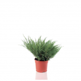 3 juniperus media mint Julep