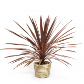 Cordyline Australis Red Star Splendore