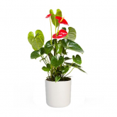Anthurium o Anturio Passion