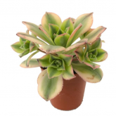 Aeonium Sunburst Mini