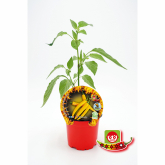 Muda Natural de Pimento Spicy Hot Lemon vaso 10,5 cm  de diâmetro