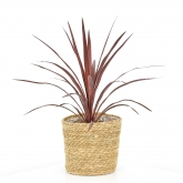 Cordyline Australis Red Star