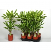 Dracena Golden Coast 45-20