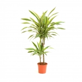 Dracena Lemon Lime 45-15 (ES)