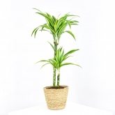 Dracena Lemon Lime Kopstek