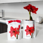 Kit autocultivo bulbo Amaryllis Red Lion