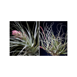 Pack Tillandsias
