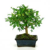 Bonsai Zanthoxylum piperitum sp. 5 anos